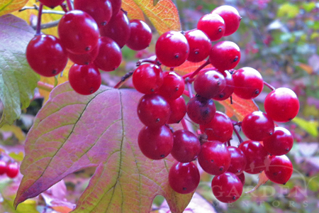 Viburnum opulus berries in fall