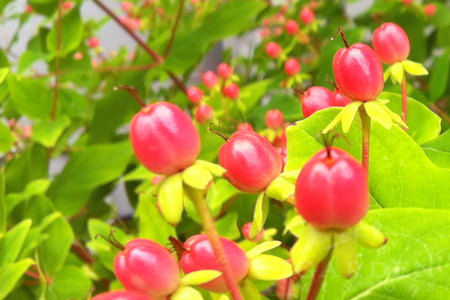 Hypericum berries in fall