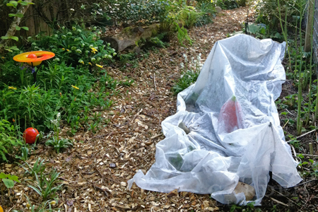 Chard covered in horticultural fleece in April