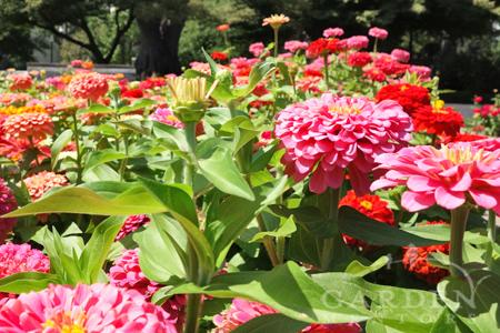 Zinnia flowers in Sacramento
