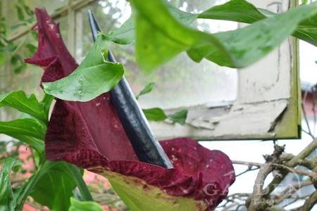 Dracunculus voodoo lily