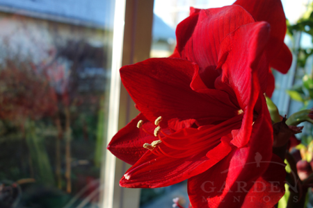 Merry Christmas Amaryllis flower