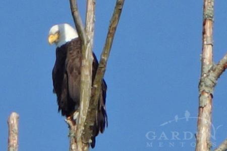 Bald Eagle at Fir Island, WA
