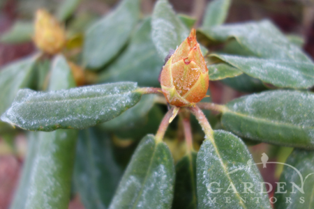 frosty rhododendron
