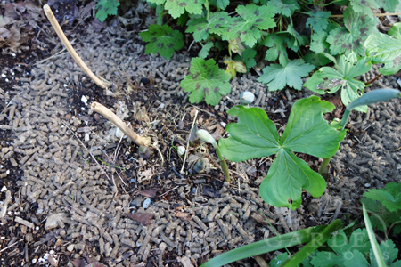 Slug Gone applied to Hostas
