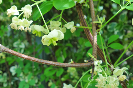 Akebia 'Alba' woody stem