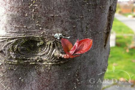 Tender spring growth on crabapple
