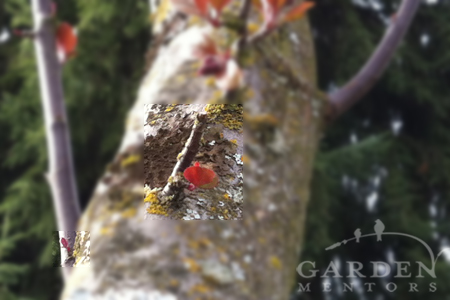 focus on buds to prune in spring