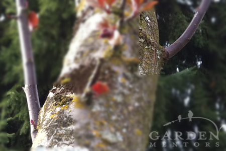 Suckering growth on crabapple