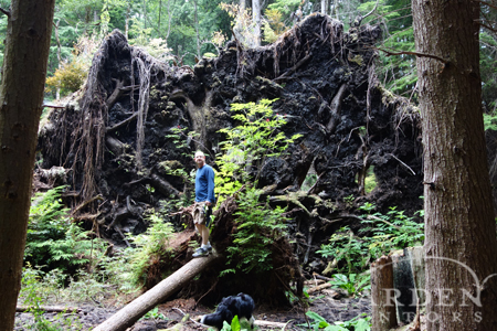 Root pancakes of uprooted trees.