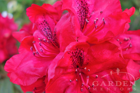 red rhododendron flower