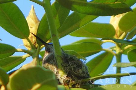 Hummingbird gardening invites nesting Anna's hummingbird