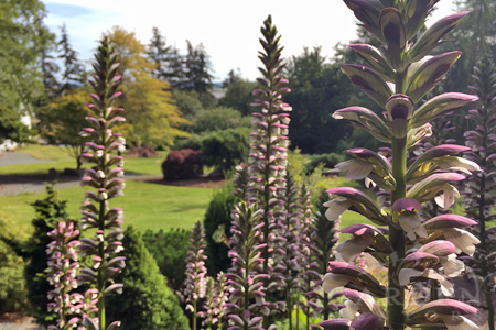 Acanthus blooming