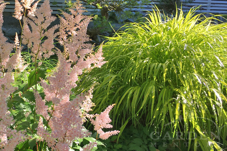 Japanese forest grass & astilbe