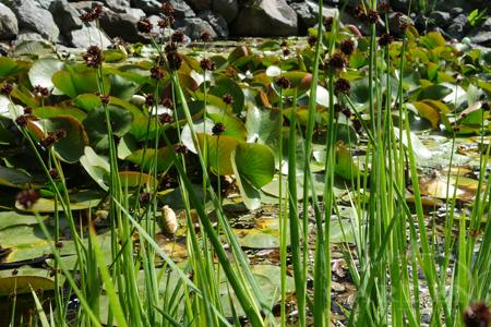 Flora in a pond