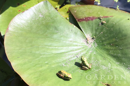 Young Pacific Tree frogs on pond lily pad