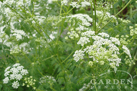poison hemlock white wildflowers