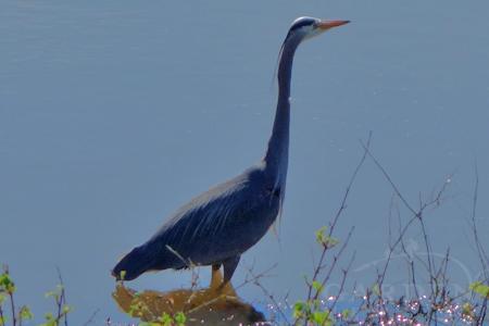 Great blue heron in slough near Padilla Bay