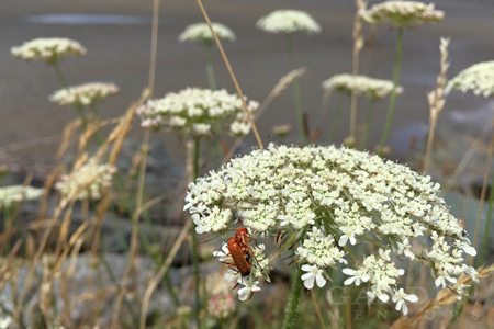 soldier beetles breeding on white wildflower Queen Anne's lace