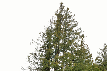 Sparse growth in crown of western red cedar