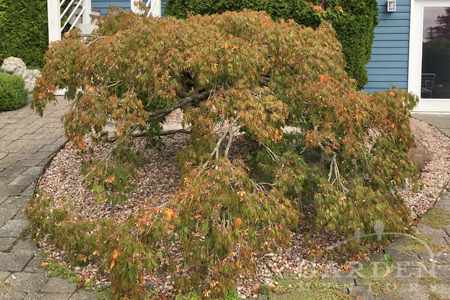 Japanese maple in need of pruning