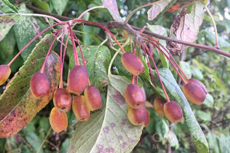 wild crabapples ripening