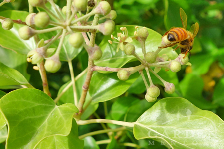 Honeybee pollinating English ivy