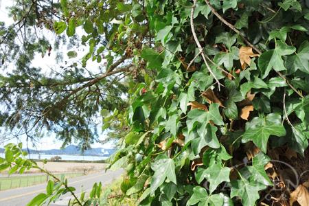 Ivy climbing Douglas fir tree