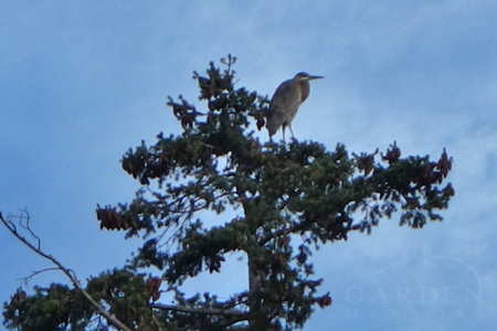 Great blue heron in douglas fir tree