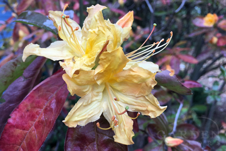 Azalea flowering in fall