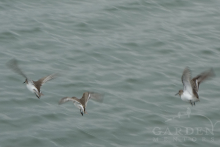 Dunlins flying on Padilla Bay