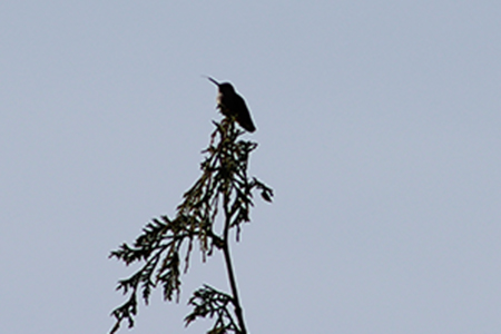 Hummingbird on tree top