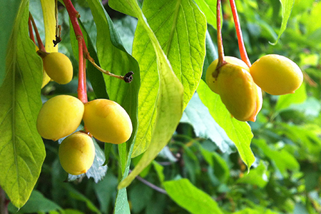 Indian plum fruits formed