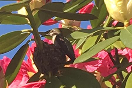 hummingbird garden Anna nesting