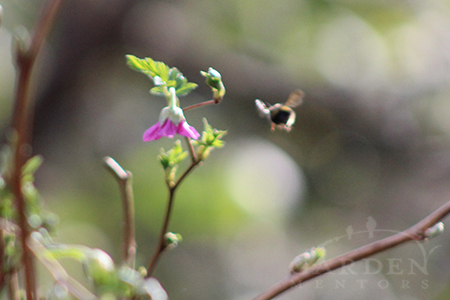 wild bumblebee on salmon berry