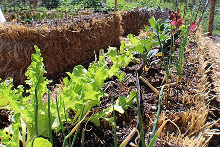 Strawbale garden in spring