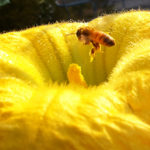 Honeybee on squash blossom