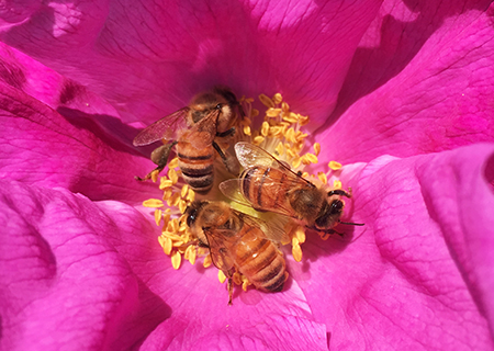 Honeybees on wild rose